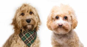 Brief Origin of the Havapoo and Cavapoo