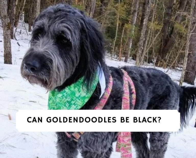 Can Goldendoodles Be Black