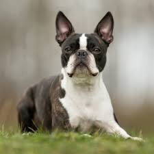 Canterbury Tails Boston Terriers