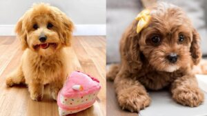 Cavapoo and Havapoo Health Problems