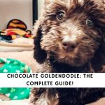 Chocolate Goldendoodle