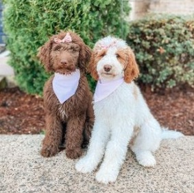 Chocolate Goldendoodle Health