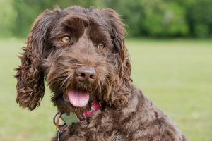 Chocolate Labradoodle Coat Color Guide
