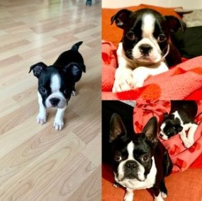 Choosing A Boston Terrier Puppy From The Right Breeder