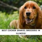 Best Cocker Spaniel Breeders in Illinois!