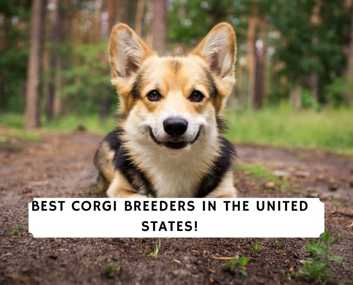 Corgi Breeders in the US