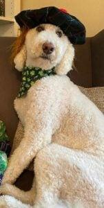 Curly Coat Goldendoodles