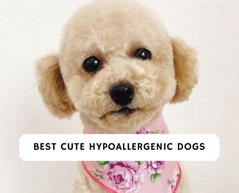 Cute Hypoallergenic Dogs