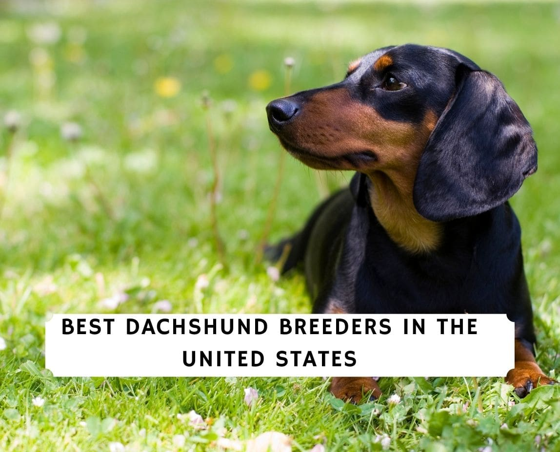 Dachshund Breeders in the US