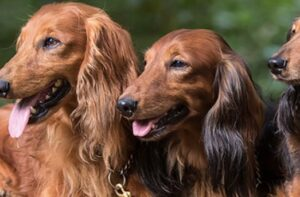 Dachshunds of Castleshield puppies