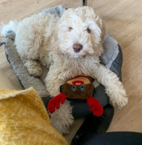 Difference Between Blonde Labradoodles & Other Labradoodles