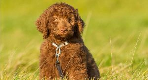 Do Chocolate Labradoodles Have Special Health Issues