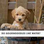 Do Goldendoodles Like Water