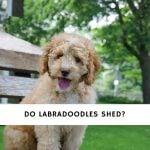 Do Labradoodles Shed