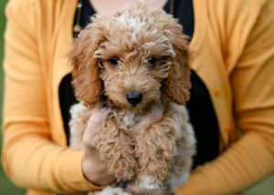 Do Teddy Bear Goldendoodles Suffer Health Problems