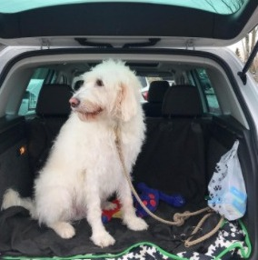 Do White Labradoodles Have Special Health Issues