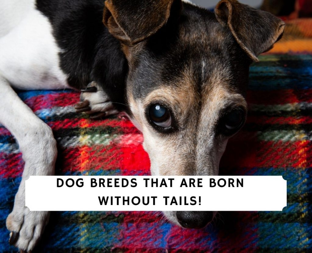 Dogs Born Without Tails
