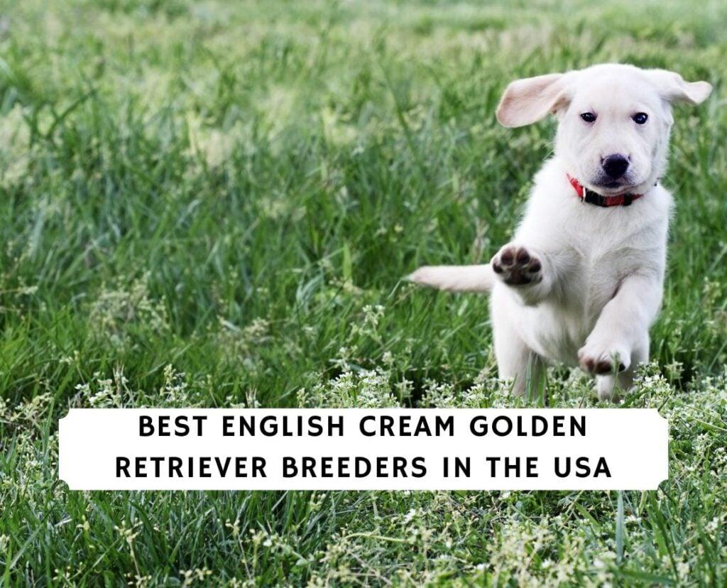 English Cream Golden Retriever Breeders