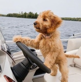 F1 Goldendoodle Breeders in the United States