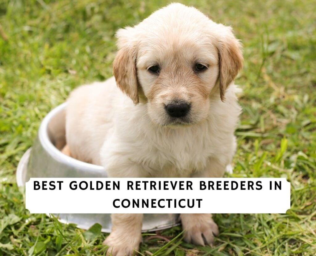 Golden Retriever Breeders in Connecticut