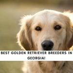 Golden Retriever Breeders in Georgia