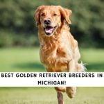 Golden Retriever Breeders in Michigan