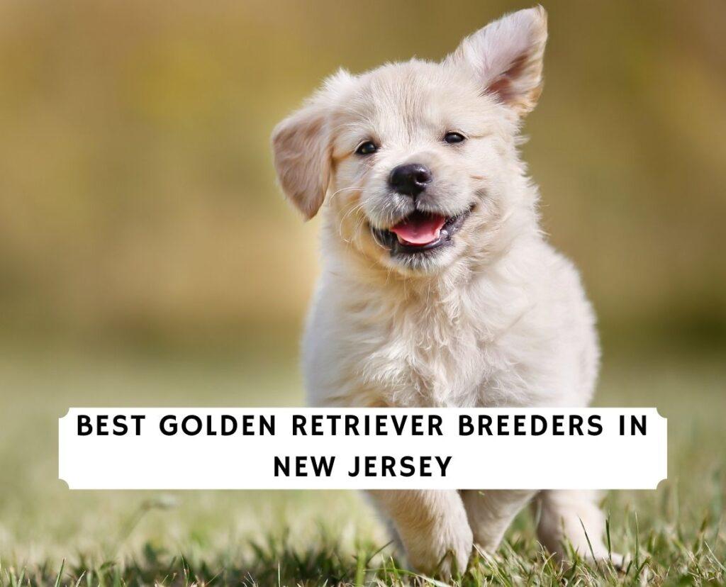 Golden Retriever Breeders in New Jersey