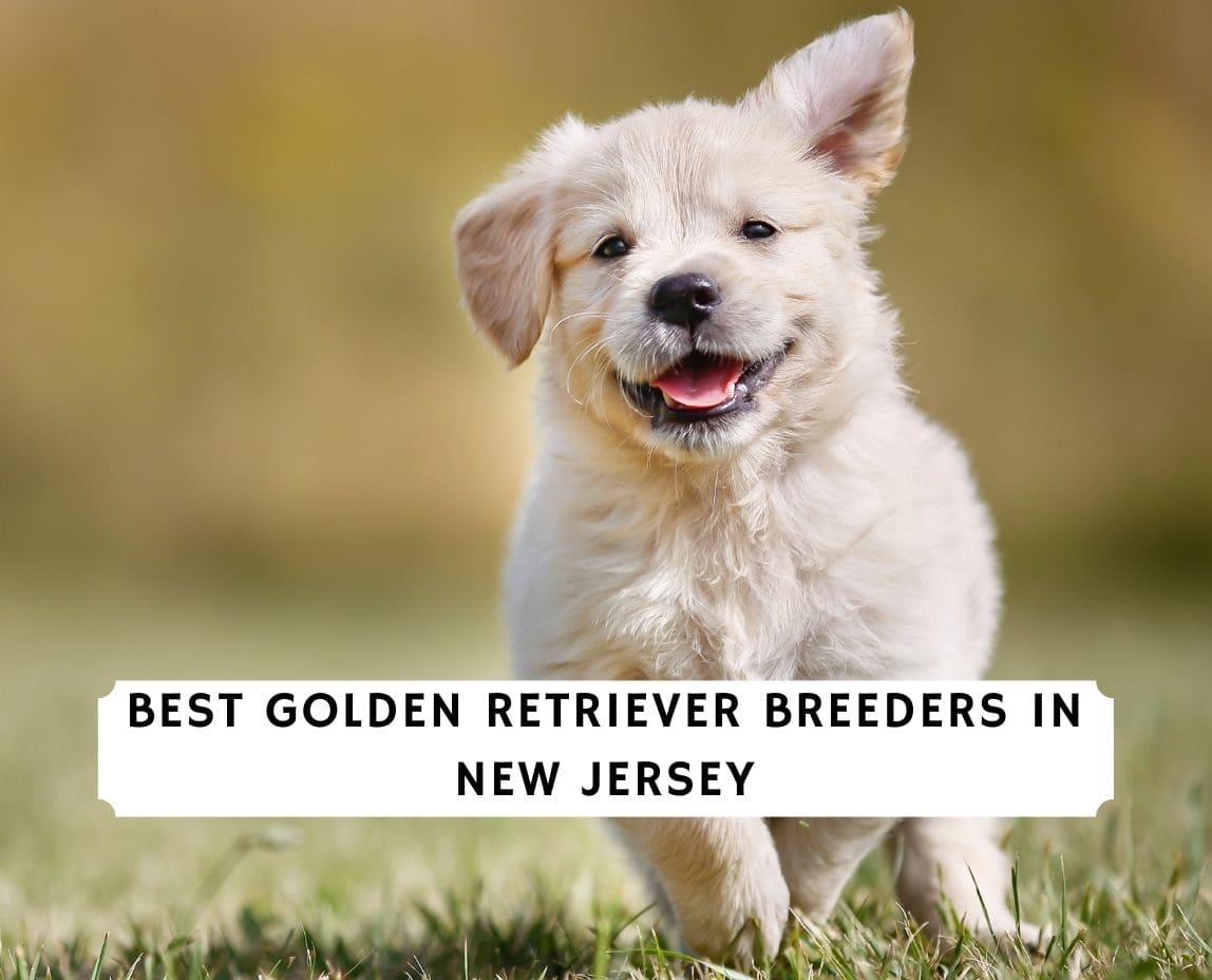 Golden Retriever Breeders in New Jersey