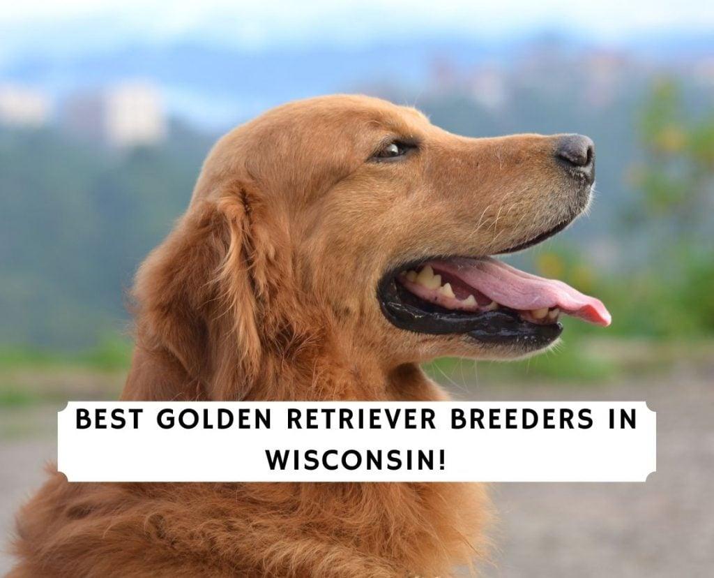 Golden Retriever Breeders in Wisconsin
