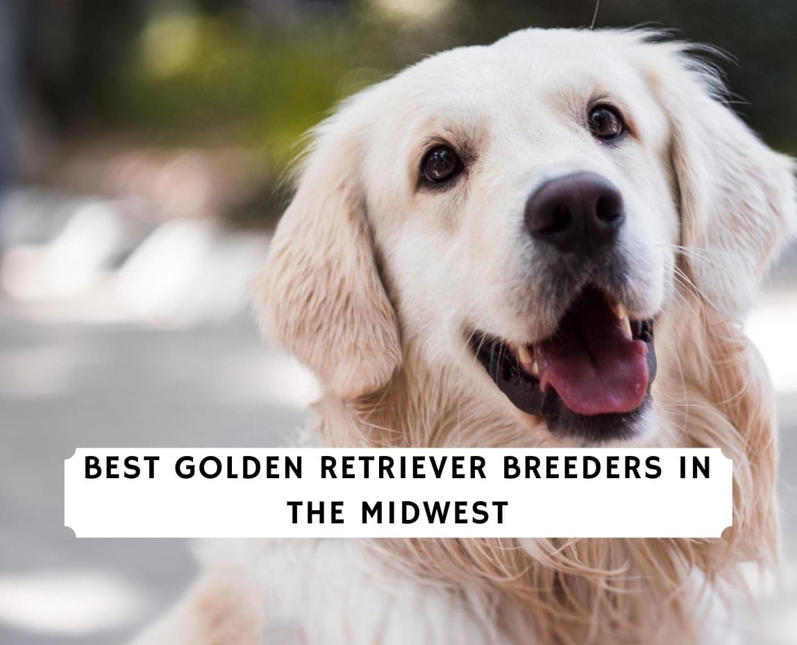 Golden Retriever Breeders in the Midwest
