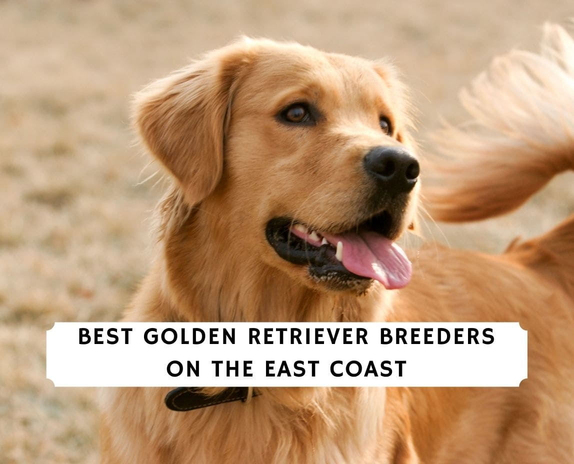 Golden Retriever Breeders on the East Coast