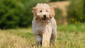 Teddy Bear Goldendoodle Temperament