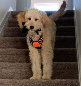 Goldendoodle Basic Obedience Training