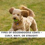 Goldendoodle Coats