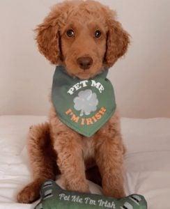 Goldendoodle Dog Breed Info