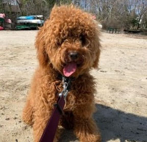 Goldendoodle Grooming