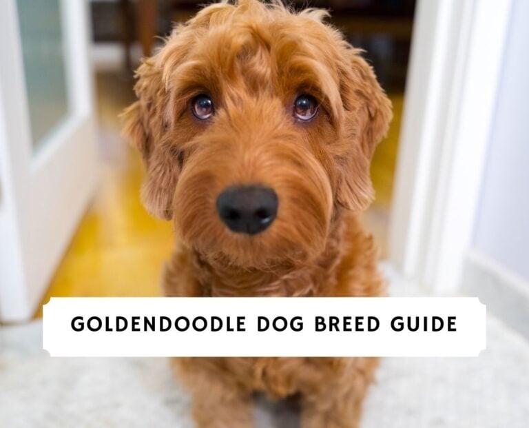 Goldendoodle Information