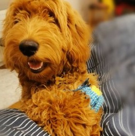 Goldendoodle Manners