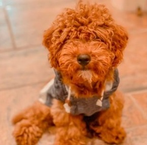 Goldendoodle Prices