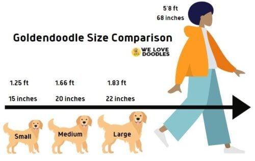 Goldendoodle Size Comparison Guide