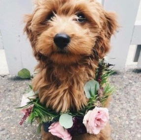 Goldendoodle Temperament & Personality