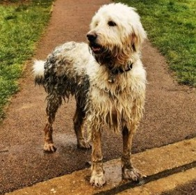 Grooming Your Goldendoodle After Swimming