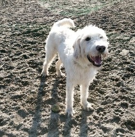 Grooming a White Labradoodle