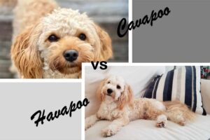 General Stature of Cavapoos and Havapoos
