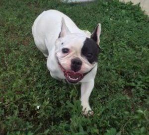 Heavenly Haas Boston Terrier