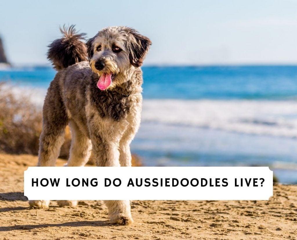 How Long Do Aussiedoodles Live