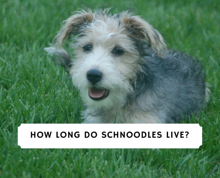How Long Do Schnoodles Live