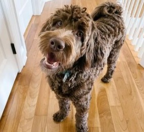 How Rare Is the Chocolate Labradoodle