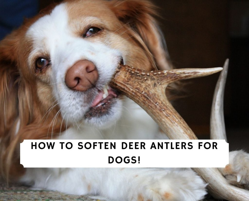How To Soften Deer Antlers For Dogs