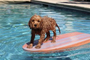 How to Introduce your Goldendoodle to Water
